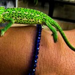 Habibi's pet chameleon