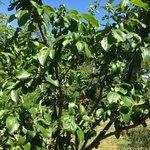nos arbres fruitiers