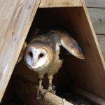 Whisper the Barn Owl