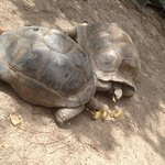 tortoises on Necker island