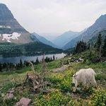 Goat at Logan Pass