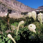 Beargrass on Lunch Creek trail, just east of Logan Pass visitor's center