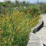Deerweed in bloom along the boardwalk.