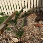 Rosemary Grevillea plants along front bounday garden beds