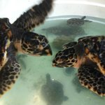 Hold a Sea Turtle, or you can even Adopt one!