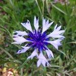 Wild flower along Lake Siskiyou trail