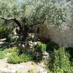 Olive tree and herb garden