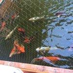 Some of the Koi that swim around the main restaurant building.  Very serene.