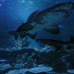 Sand bull shark