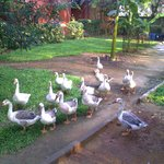 Enjoy the Beauty of The Ducks' Movement in the Resort