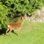 Deer on hotel grounds