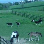 horses and goats at moreton house