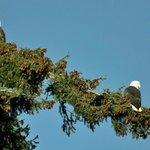 Local Bald Eagles