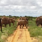 elephants crossing in front of car