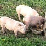 Les cochons de l'Auberge