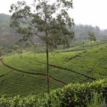 The tea plantations