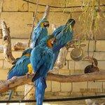 Guacamayos azules