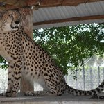 Charlie is a Cheetah from South Africa that lives in an enormous 3-acre enclosure at Panther Rid