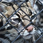 Cody is an Ocelot who came to Panther Ridge in 2003.
