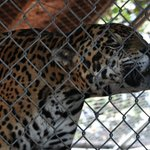 Aztec is a Jaguar and came to Panther Ridge in 2004 from a circus environment.