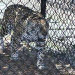 Isabella is the offspring of two other jaguar residents of Panther Ridge, Aztec & Tia.