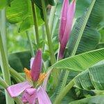 Flowering Banana
