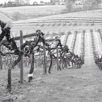 Vines at Newent