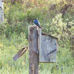 Blue Bird Home Sweet Home
