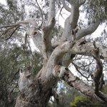 Major Mitchell Tree
