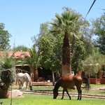 The friendly horses enjoying the grass in the pool area.