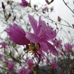 ミツバツツジの花がきれいでした
