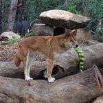 Gorgeous Dingo