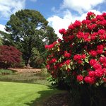 Rhodendrons