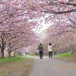 桜見本園近く