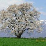 満開の一本桜