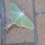 Luna moth on the patio