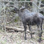 Moose in Algonquin National Park