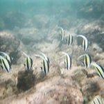 school of angelfish