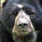 Andean Bear at the Inkaterra Machu Picchu Pueblo Hotel