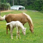 palomino and colt (barn in background)