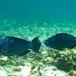 Midnight Blue Parrotfish