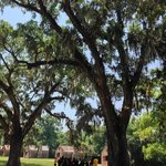 Beautiful old oak trees.