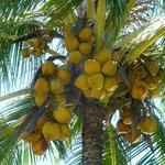 Local coconuts