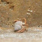 crab?