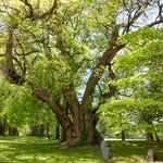 300 years old tree