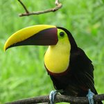 Close encounter with a chestnut-mandibled toucan