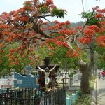 Malinche tree in a Cementary of North of Nicaragua