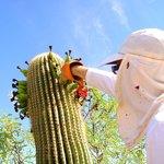 Dare to explore the sweet taste of the Saguaro fruit.