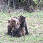 Grizzlymutter und Junges beim Spielen, gesehen auf einer Autofahrt