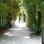 フクギの並木道
